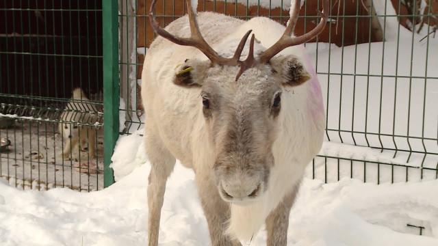 Члены новоуренгойского отделения партии «Единая Россия» взяли под опеку самку северного оленя