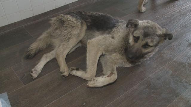 Собаке, которую переехал водитель наул. Губкина, требуется операция