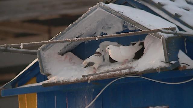 ВНовом Уренгое перенесут частную голубятню, которая мешает строительству транспортной развязки