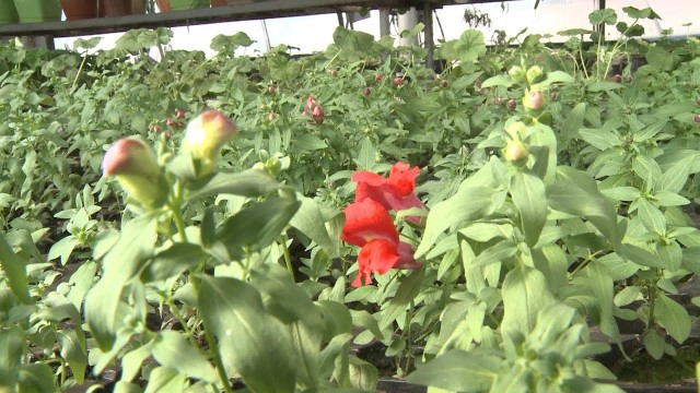 ВНовом Уренгое вырастили более 130 тысяч цветов для городских клумб