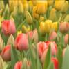 Специалисты МУП «Уренгойское городское хозяйство» вырастили цветы к8марта.