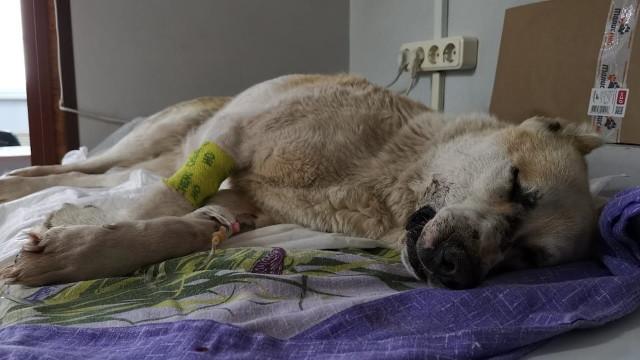 ВНовом Уренгое отрук догхантеров пострадали уличные идомашние собаки
