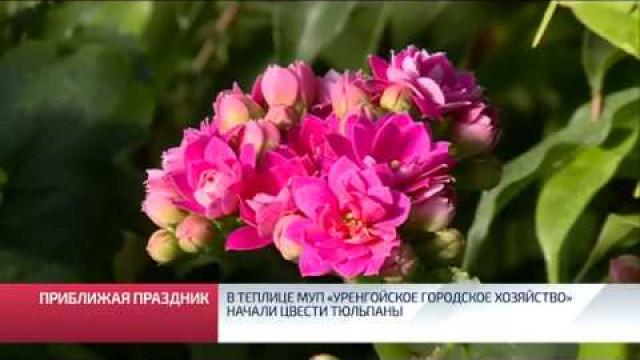 Втеплице МУП «Уренгойское городское хозяйство» начали цвести тюльпаны.