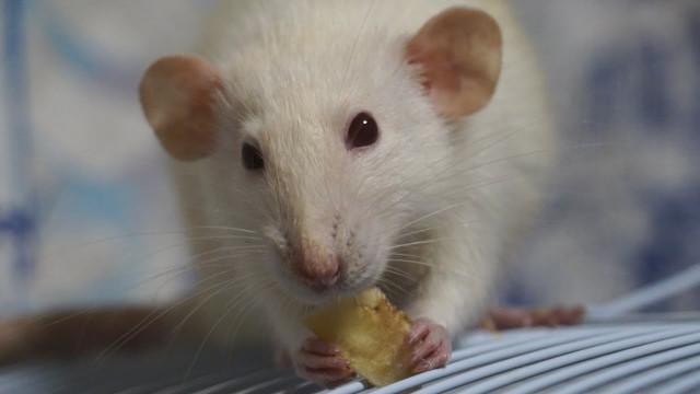 Чем располагает ксебе людей белая стальная крыса?