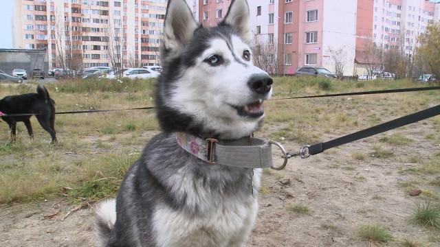 ВНовом Уренгое готовятся коткрытию 2площадки для выгула идрессировки собак