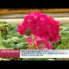 Через пару месяцев втеплице «Уренгойского городского хозяйства» вырастет почти 12тысяч цветов.